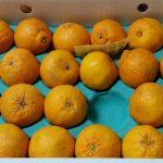 鹿児島県長島町から今年も『デコポン5kg(露地栽培)』&『ミネラル栽培ジャガイモ10kg』を頂きました